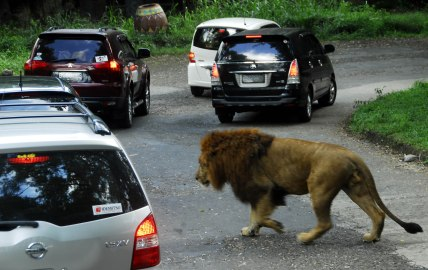 Seekor singa melintas di antara mobil pengunjung di jalur wisata satwa liar Taman Safari Indonesia (TSI) Cisarua, Bogor, Jabar, Jumat (1/8)