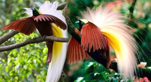The Bird Of Paradise-Cenderawasih